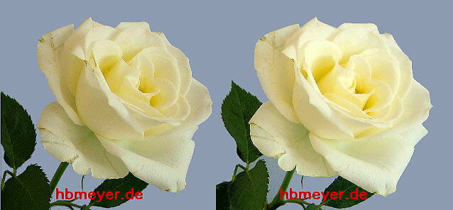 white rose in stereo