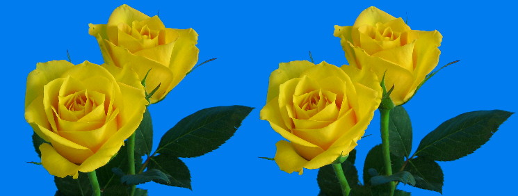 two yellow roses in stereo